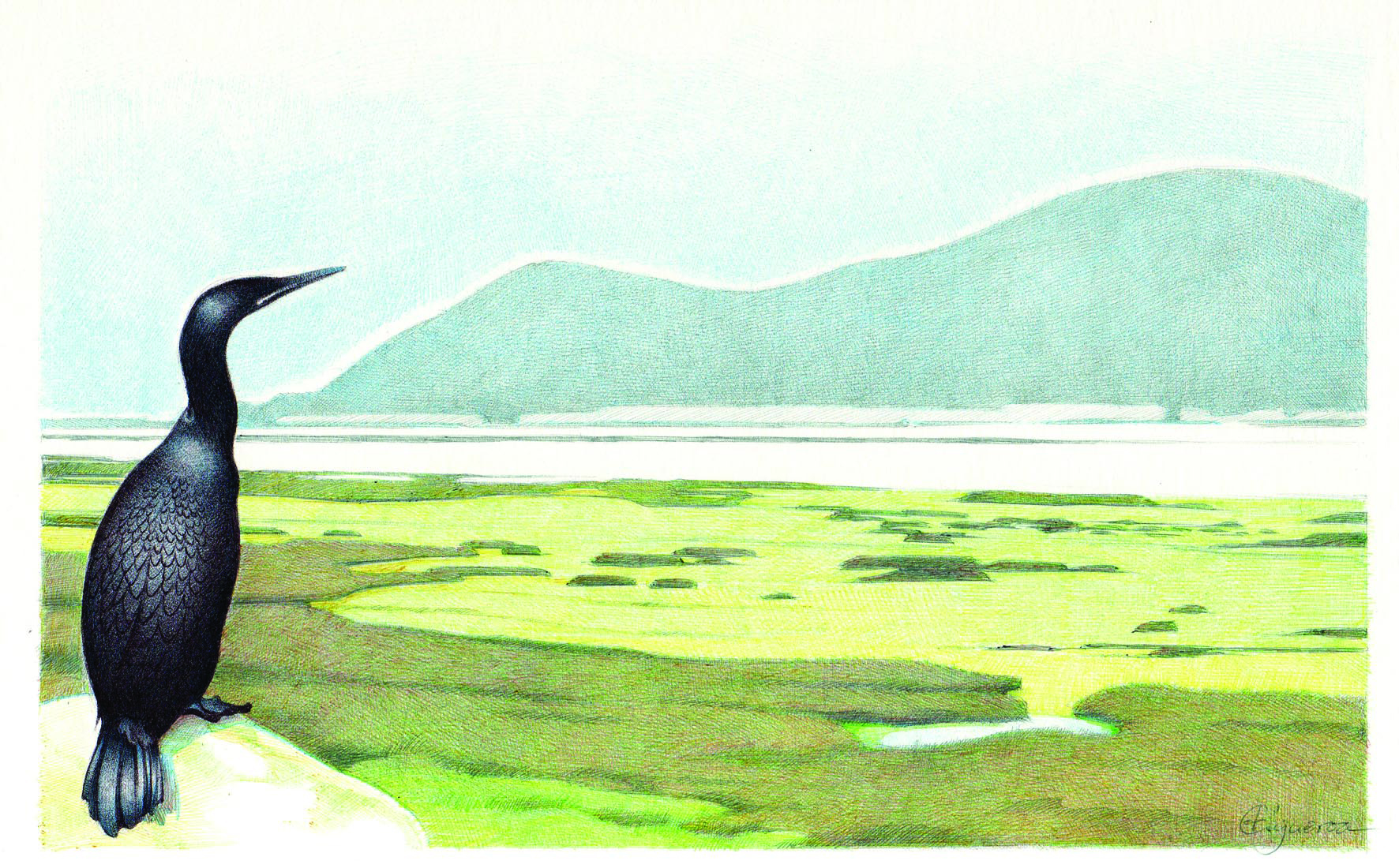 Cormorán en las marismas de Santoña por Cristina Figueroa